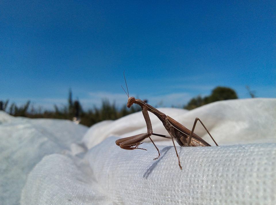 Praying Mantis, Mantis, Insect, European Mantis