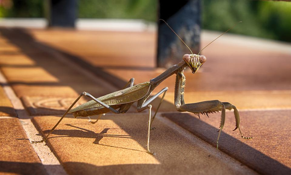 Prying Mantis, Mantis, Insect, Nature, Green