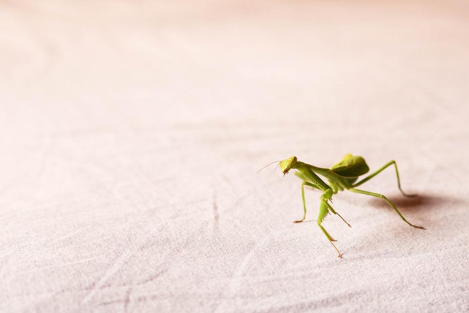 Praying Mantis, Insect, Mantis, Green, Mantodea, Nature