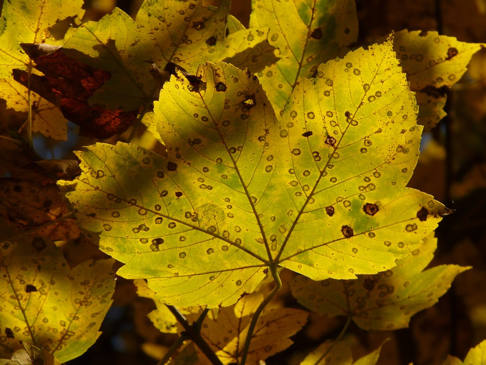 Mountain Maple, Acer Pseudoplatanus, Maple, Acer