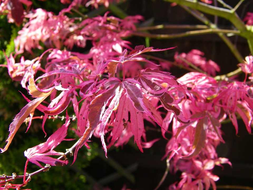 Japanese Maple, Tree, Maple, Summer, Acer, Pink
