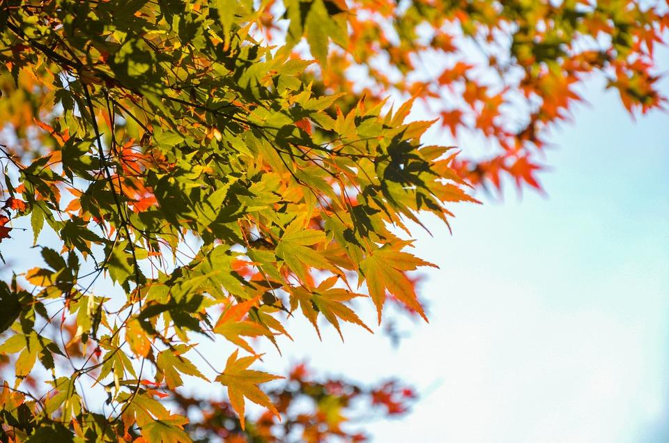 Maple, Autumn, Leaves, Foliage, Autumn Leaves