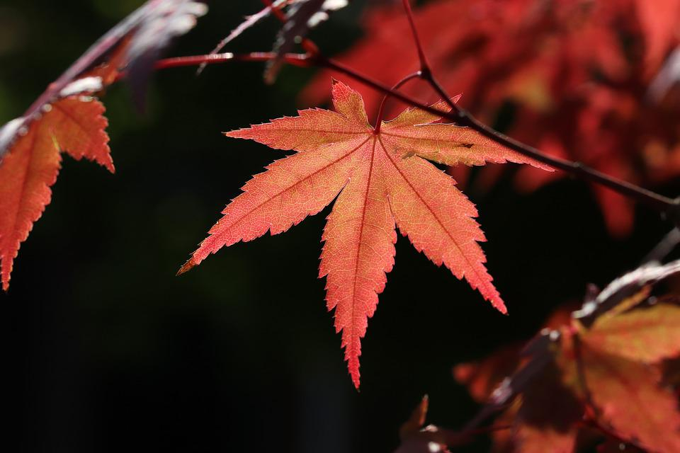 Autumn Leaves, Autumn, Maple, The Leaves, Colorful