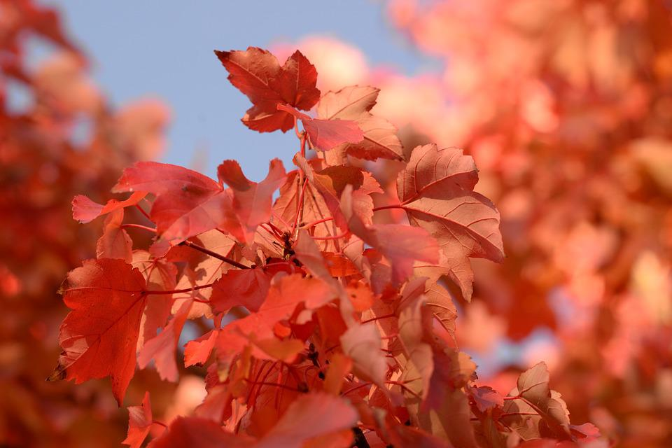 Red, Maple, Leaf, Blue Sky, Autumn, Leaves, Nature