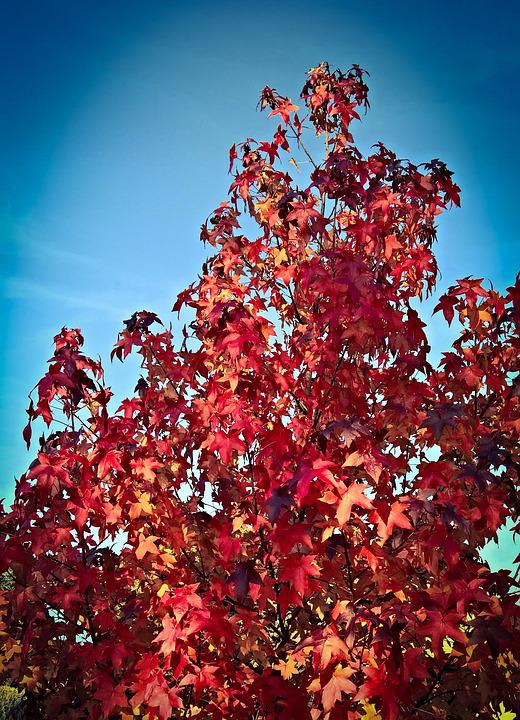 Tree, Maple, Autumn, Red Leaves, Leaves, Discoloration