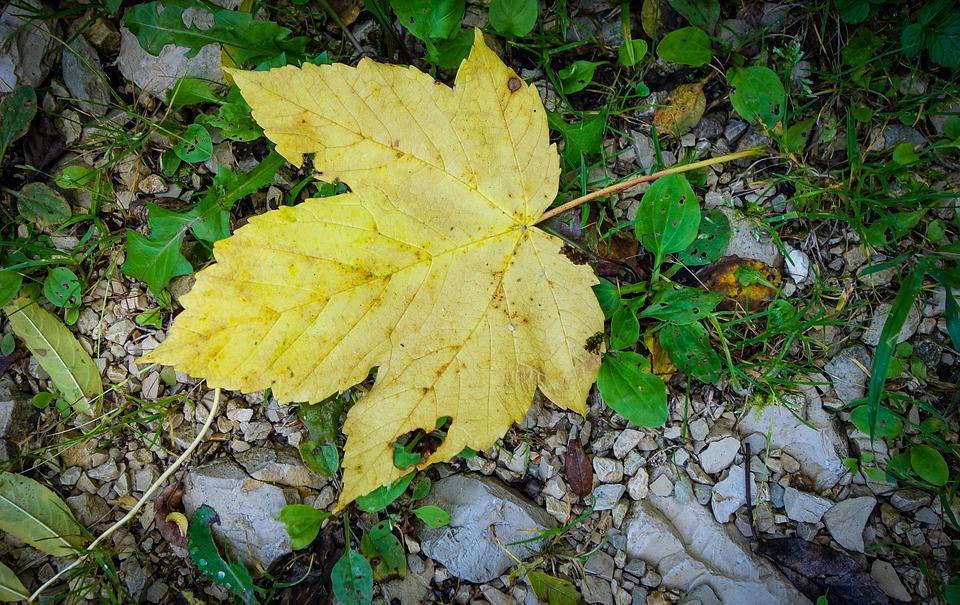Leaf, Maple Leaf, Maple, Boxer Shorts, Yellow, Gold