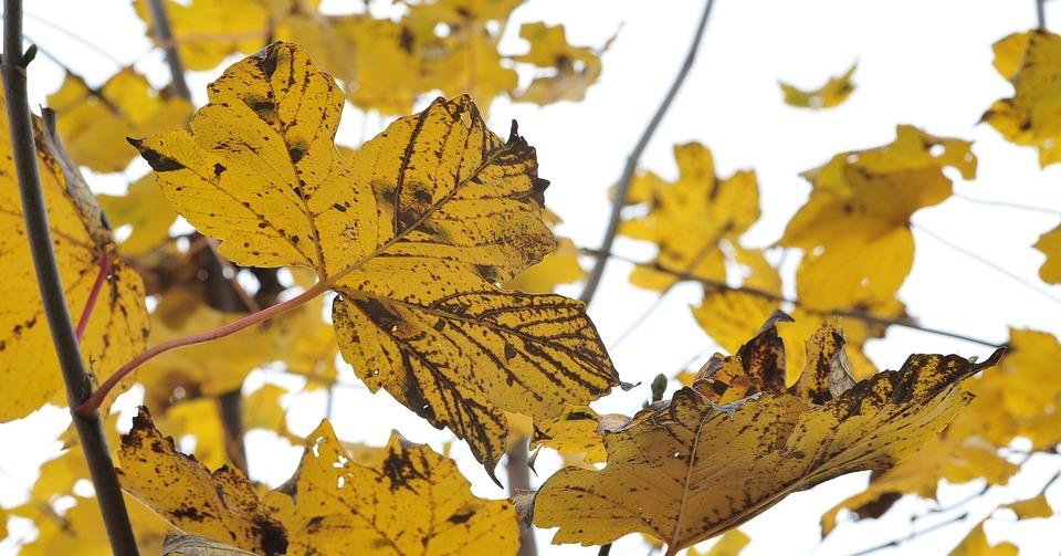 Autumn, Fall Foliage, Maple Leaves, Maple
