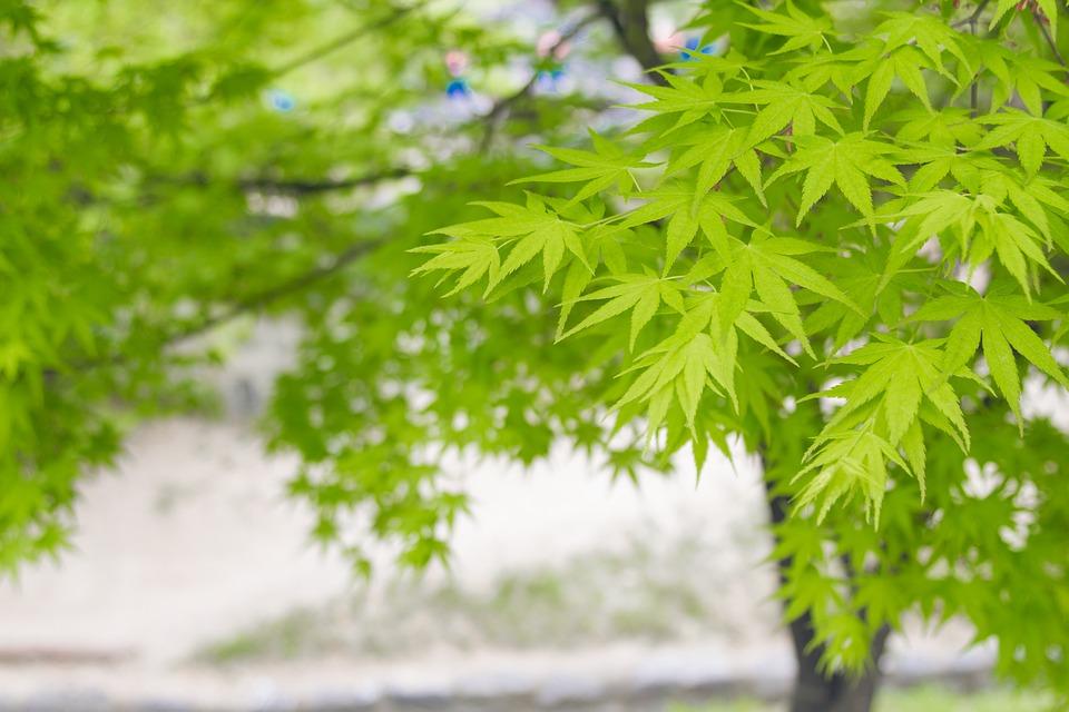 Spring, Leaf, Green Leaf, Maple, Summer