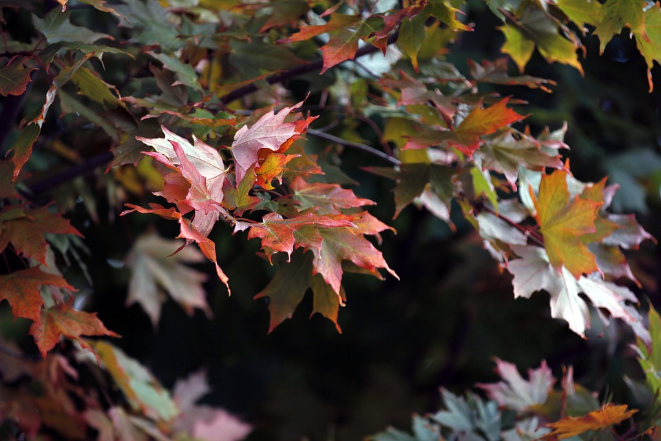 Maple, Leaf, Red, Nature, Maple Leaf, Autumn, Fall