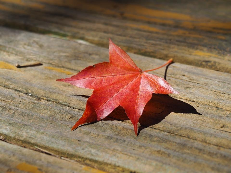 Taiwan, Wuling Farm, Maple Leaf