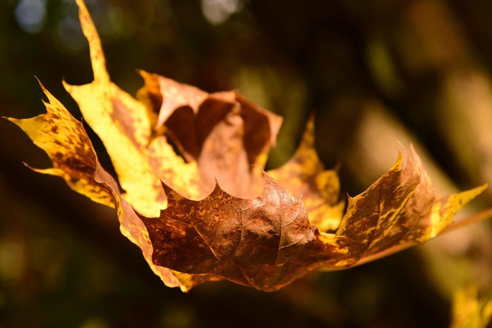 Maple Leaf, Autumn, Leaves, Maple Leaves, Colorful