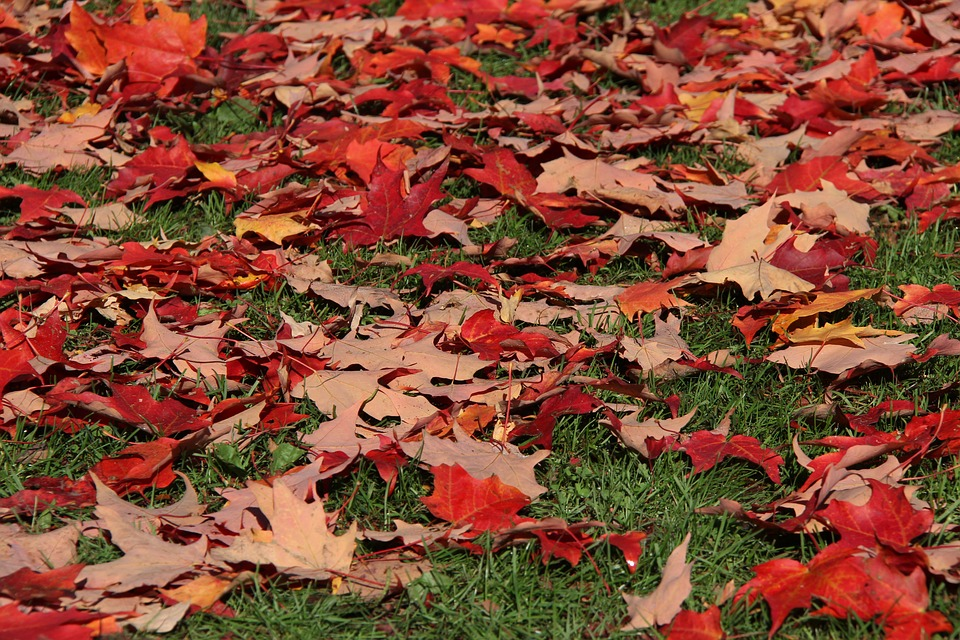 Leaves, Maple, Red, Leaf, Maple Leaf, Autumn, Canada