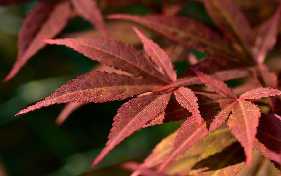 Maple Leaves, Red Maple, Red, Fine, Tender