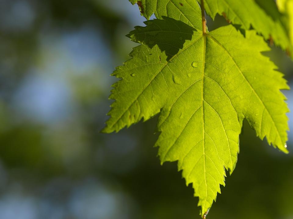 Leaf, Maple, Sun, Maple Leaf, Green, Canadian