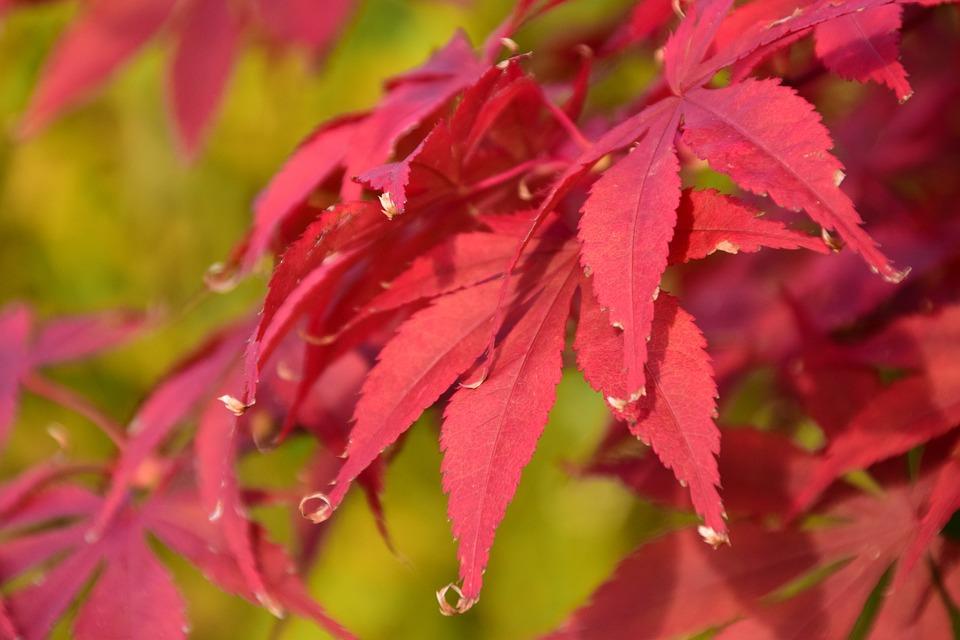 Maple, Red, Autumn, Leaves, Nature, Needle Leaf Maple