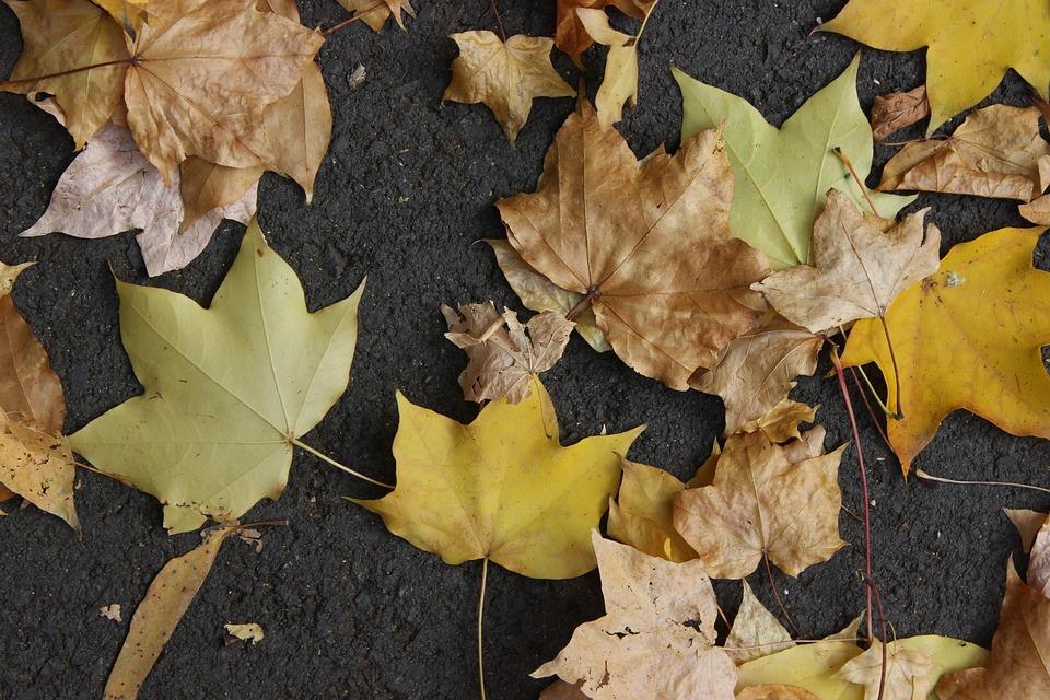 Maple, Autumn, Red Leaves, Maple Leaf Leaves