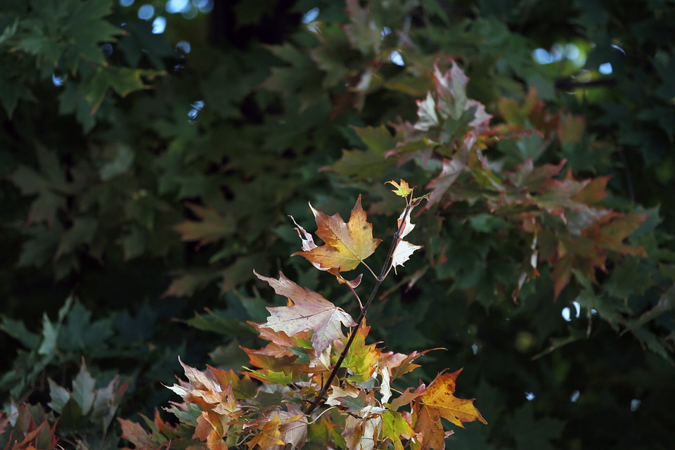 Maple, Leaf, Colorful, Season, Fall, Autumn, Natural