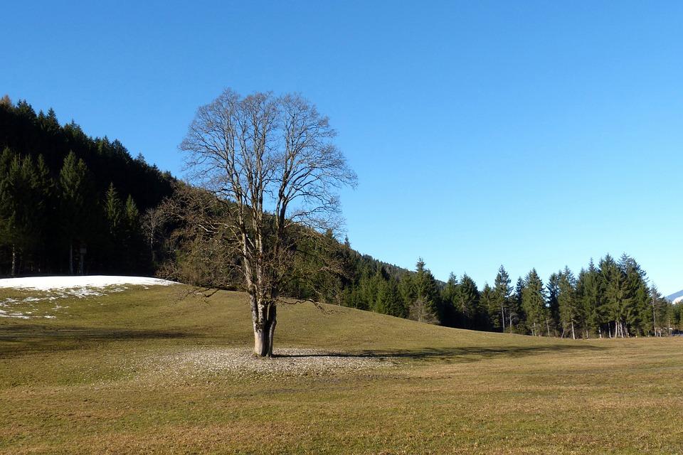 Landscape, Maple, Tree, Schneerest, Spring