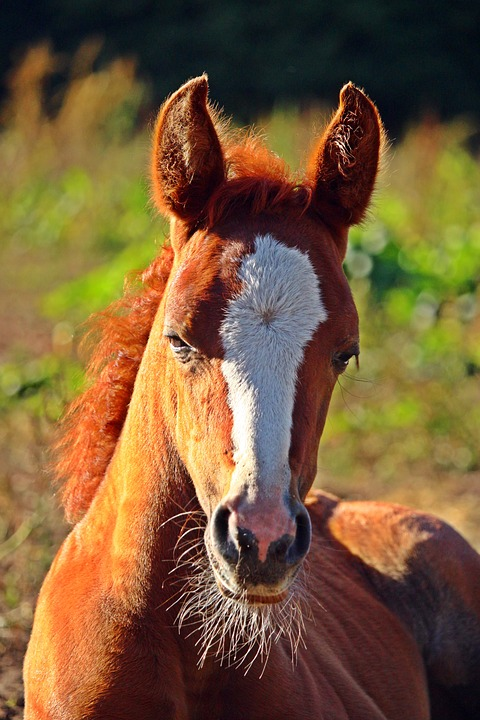 Horse, Foal, Fuchs, Blaze, Mare, Pasture, Summer