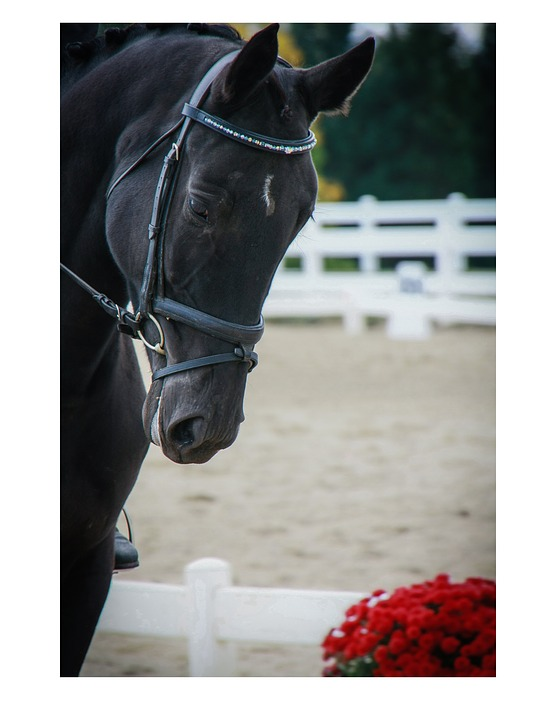 Horse, Head, Equine, Mare, Dressage, Horse Show