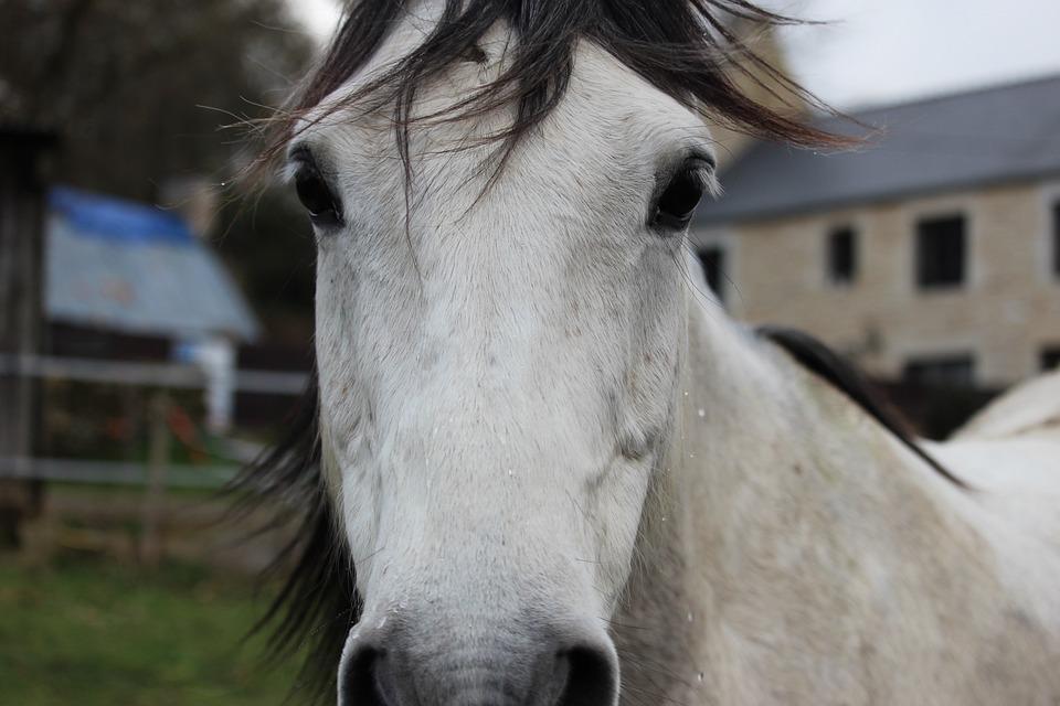Horses, Horse, Animals, Mare, Look, Arabian Horse