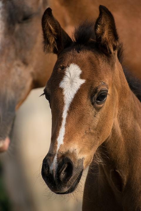 Foal, Reborn, Small, Horse, Mare, Mother, Blaze, Fur