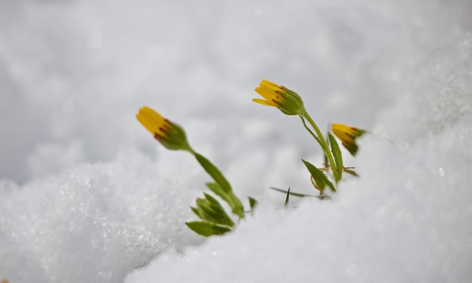 Snow, Floret, Winter, Margaret, Awakening, Nature