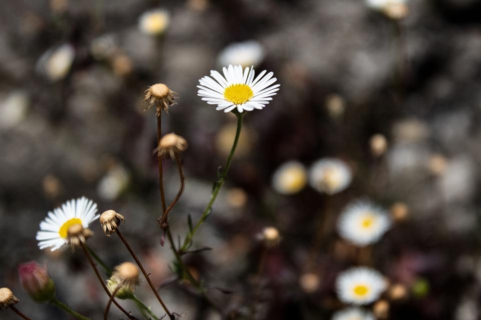 Margaret, Flower, Flowers, White, Spring, Garden