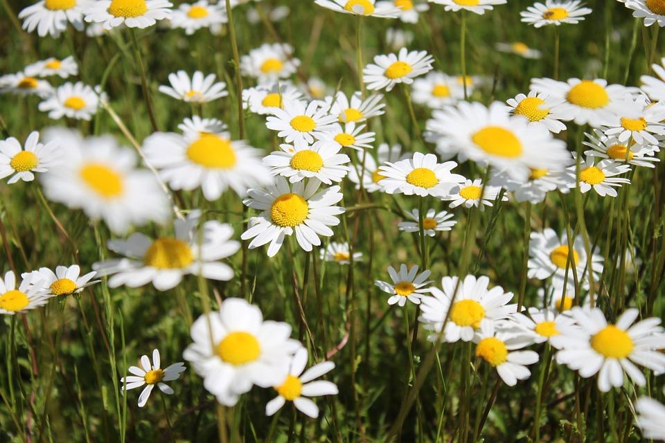 Free photo margarite spring nature white meadow flowers max pixel flowers margarite meadow white nature spring mightylinksfo