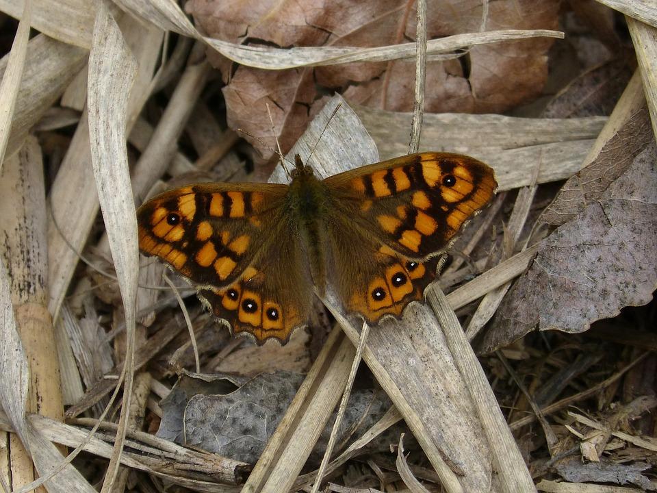 Lasiommata Megera, Butterfly, Margenera