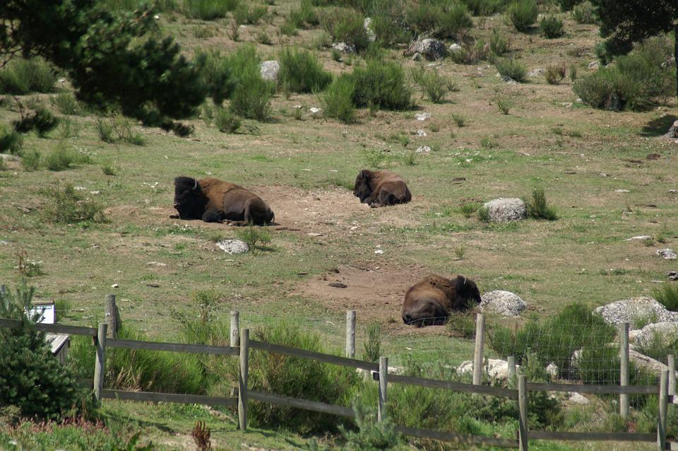 Bison, Wild Bison Reserve, Animals, Rest, Margeride