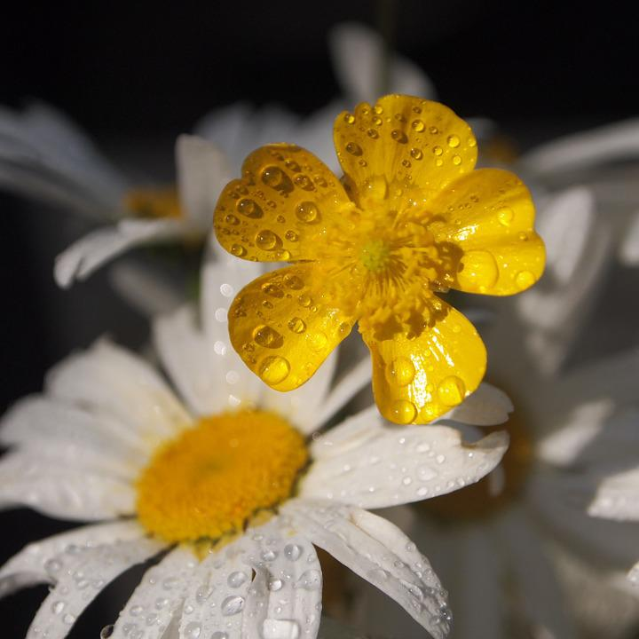 Buttercup, Margriet, Drops, Sun, Morning, Rain