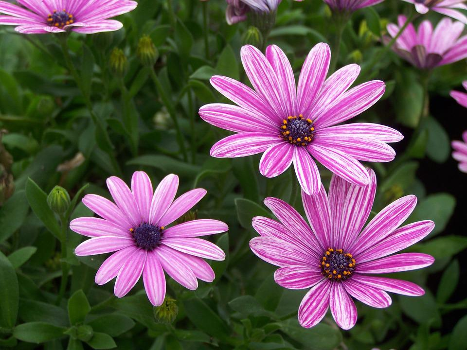 Daisy, Daisies, Purple, Flowers, Blossom, Marguerite