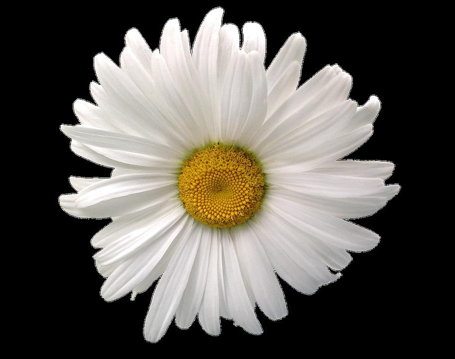 Marguerite, Summer, Flower, Blossom, Bloom, Nature