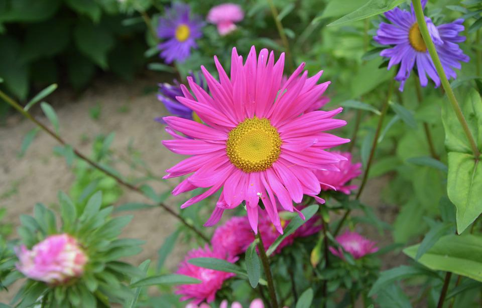 Flowers, Flower, Marguerite Bright Pink, Purple, Yellow