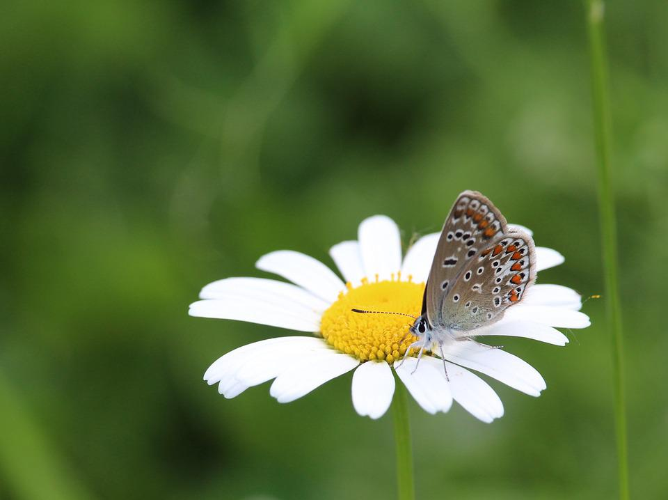 Butterfly, Marguerite