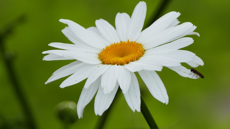 Nature, Garden, Large, Marguerite, Close, Insect