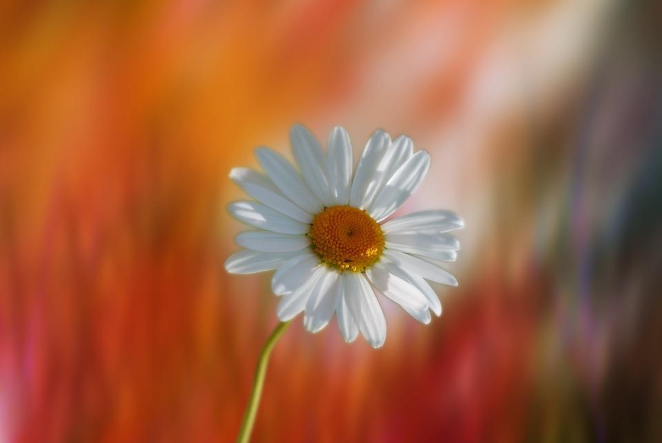 Marguerite, Flower, Plant, Garden, Yellow, Orange