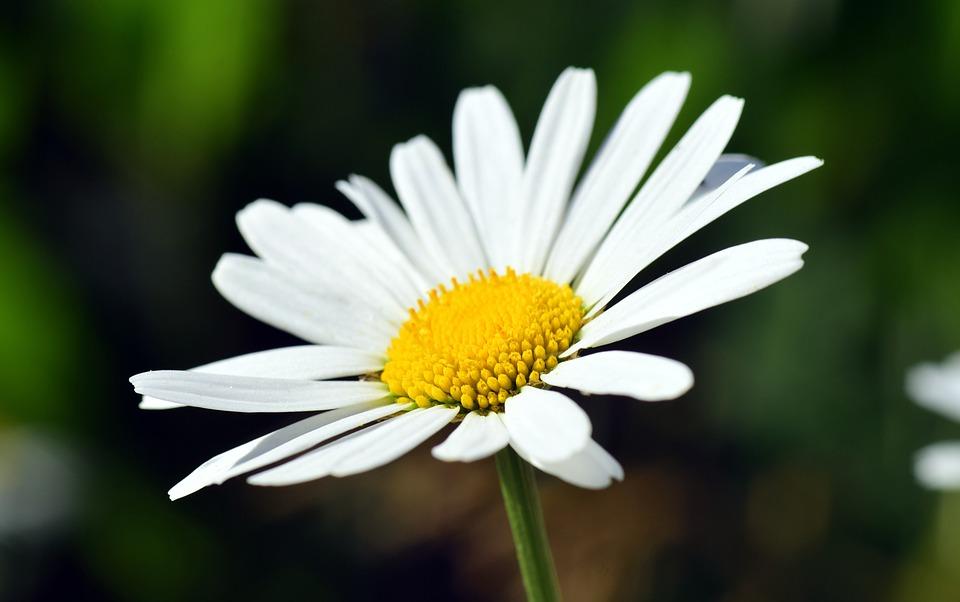 Marguerite, Flower, Blossom, Bloom, White, Yellow