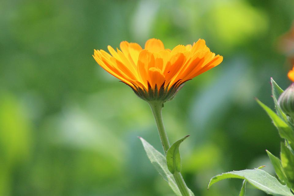 Calendula, Marigold, Flower, Summer, Green Background