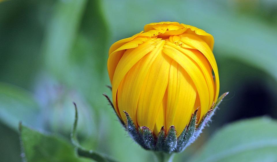 Marigold, Calendula, Bud, Open, Gardening, Naturopathy