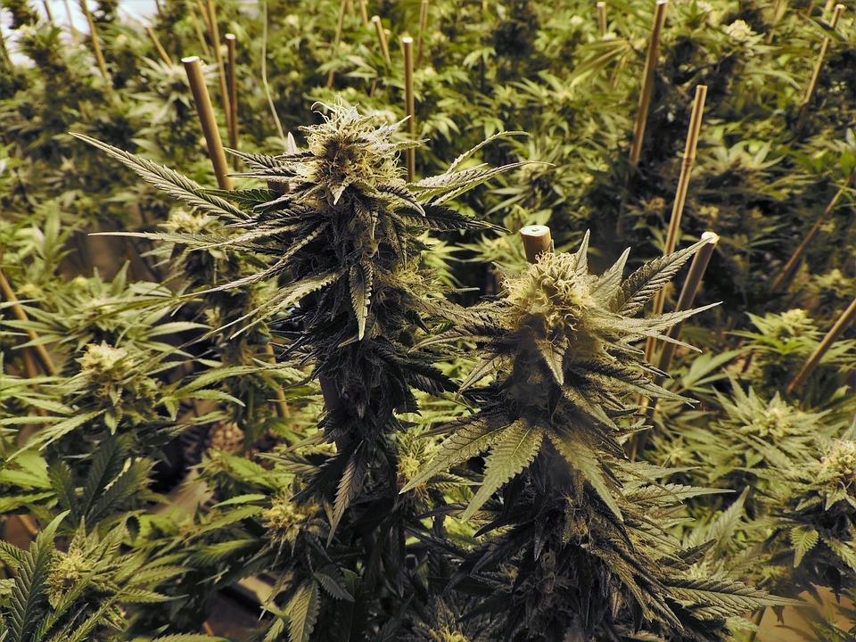 Marijuana, Grow Room, Cannabis, Hemp, Indoor, Pot