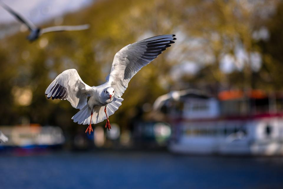Seagull, I'm Flying, Birds, Bird, Puffin, Marine Birds
