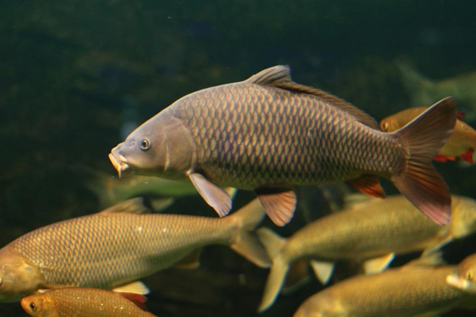 Fish, Underwater, Marine, Ocean, Animal