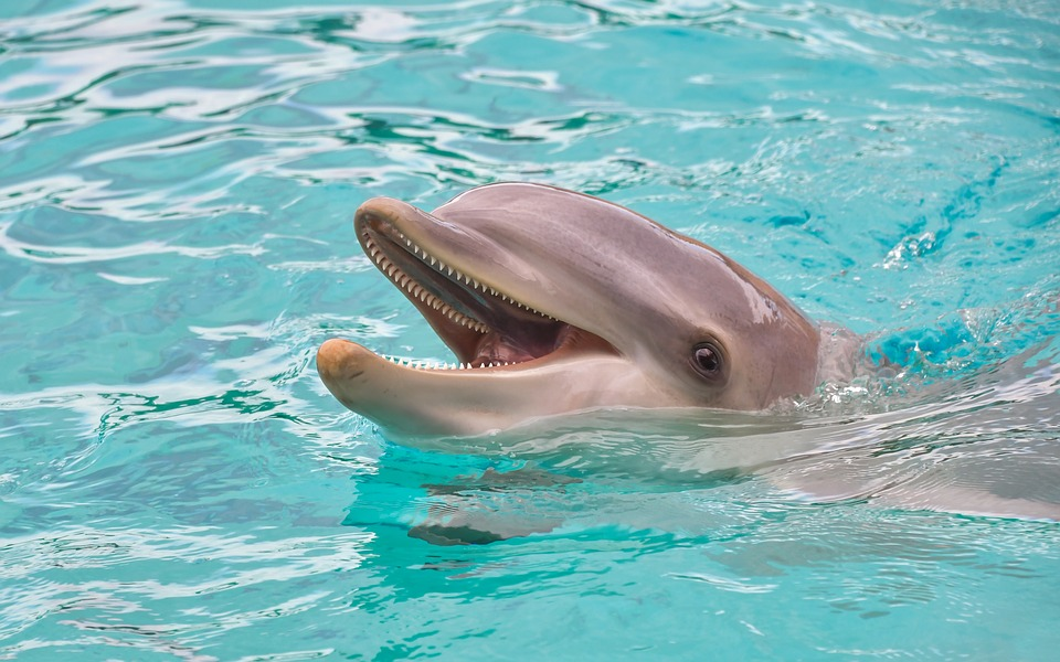 Dolphin, Look, Happy, Water, Marine Mammal, Cetacean
