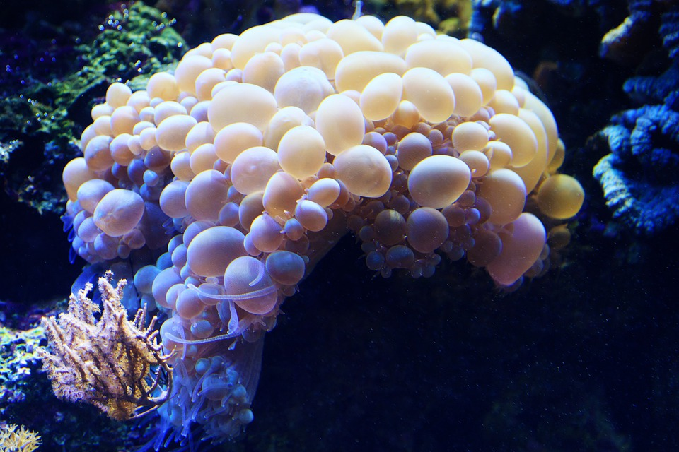 Bubble, Coral, Animal, Aquatic, Marine, Nature, Ocean