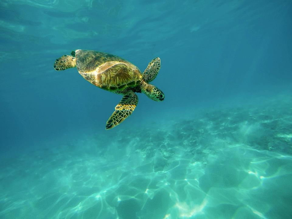 Carapace, Sea Turtle, Turtle, Marine Turtle, Ocean, Sea