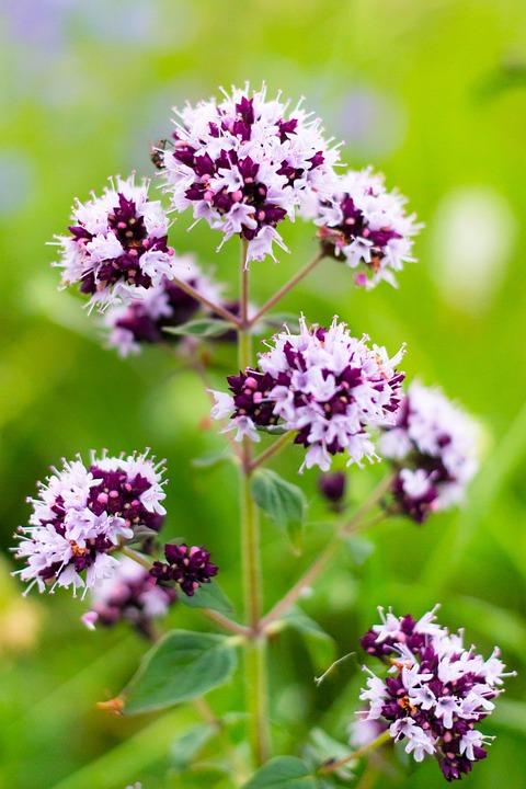 Oríganum Vulgáre, Marjoram, Flowers, Flora