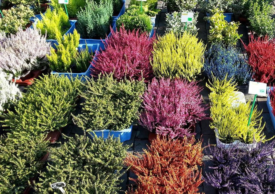 Heath, Plant, Market