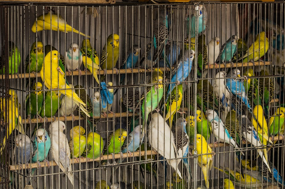 Cage, Parrots, Birds, Many, A Flock Of, Market Pitici